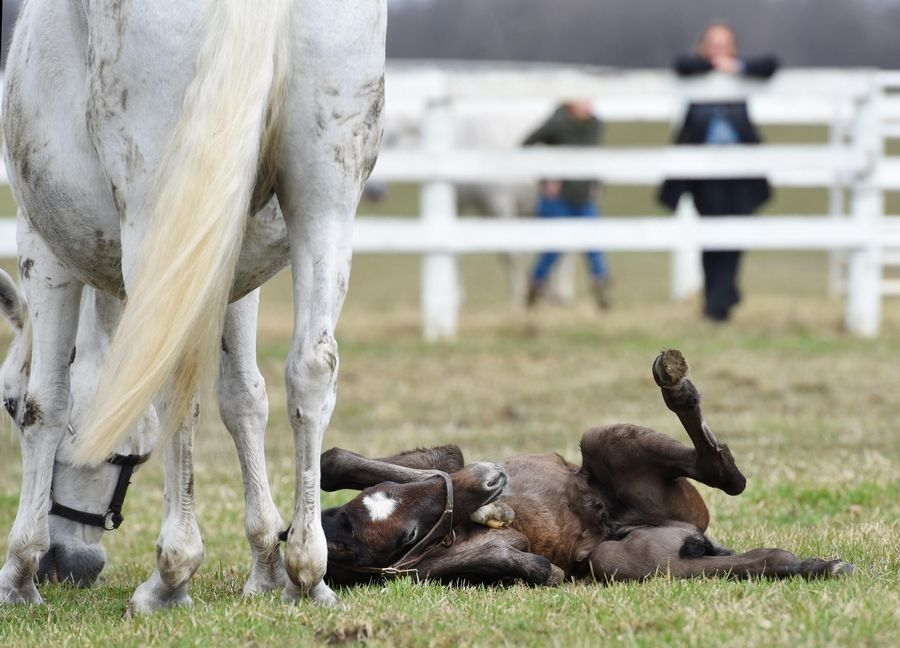 After watching his mother roll on the grass Friday, 3-day-old Favory Bionda attempts his own awkward roll at Tempel Farms in Old Mill Creek near Wadsworth.