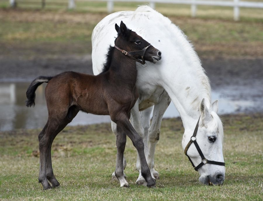 The newest Lipizzan colt at Tempel Farms is 3-day-old Favory Bionda, who will stay by his mother for several days in Old Mill Creek near Wadsworth. The European breed is born dark and turns white as it ages into adulthood.