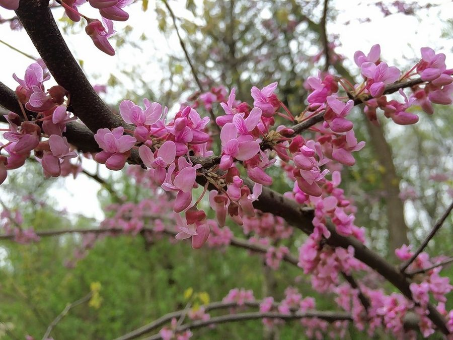 Eastern Redbud Blossoms Add Beauty Attract Pollinators