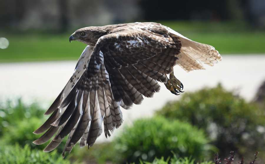 A juvenile Red-tailed hawk launches from a bush near a Hawthorn Mall parking lot Wednesday in Vernon Hills.