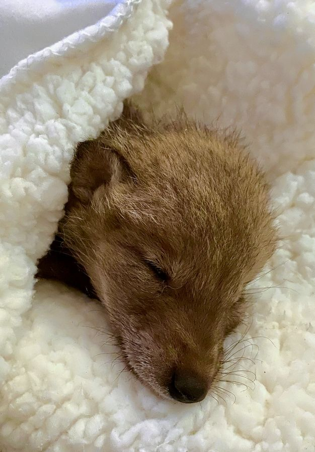 One of four Lake County coyote pups who survived last week's storms rests in the care of Barrington's Flint Creek Wildlife Rehabilitation.