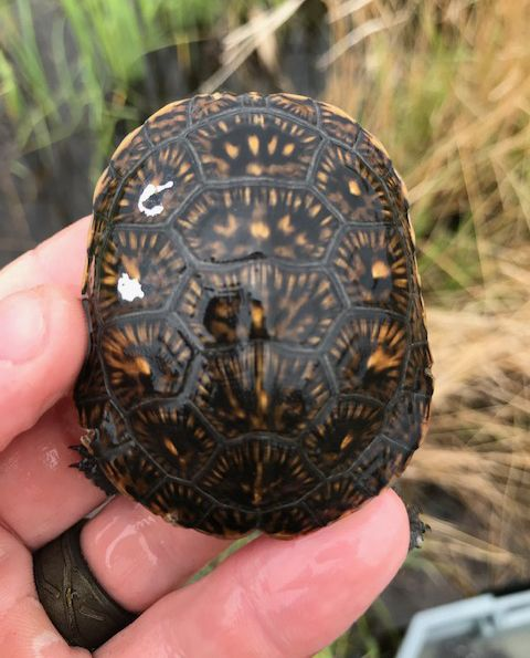 The shells of a baby Blanding's turtles are notched with a four letter code so they can be identified. Fifty-three hatchlings were released Friday as part of an ongoing program to increase the population of the endangered species.