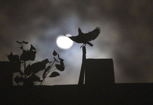 A crow sits on roof of a house as the sun forms crescent during solar eclipse in New Delhi, India, Sunday, June 21, 2020.