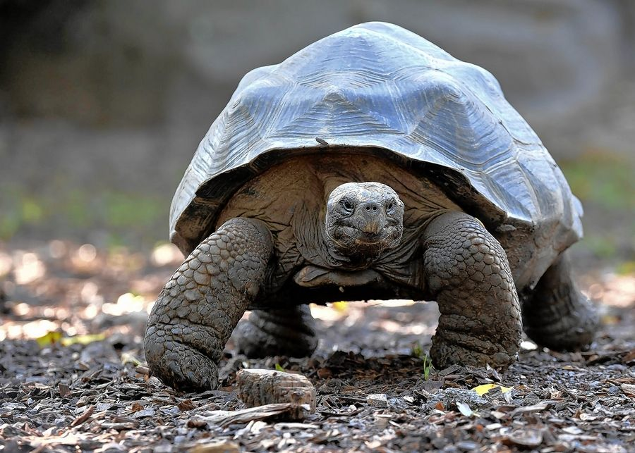 Brookfield Zoo's Galapagos tortoises can be seen in their outdoor habitat once the zoo reopens.