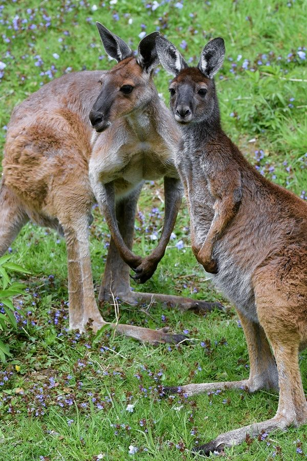 Western gray kangaroos can be seen in their outdoor habitat when Brookfield Zoo reopens.