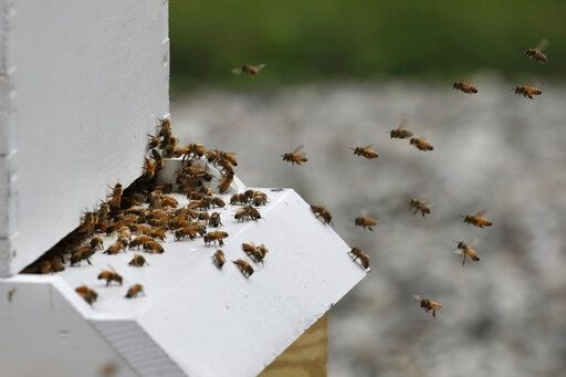 FILE - In this Aug. 7, 2019, file photo, honeybees return to a hive at the Veterans Affairs in Manchester, N.H. The annual survey released Monday, June 22, 2020, of U.S. beekeepers found that honeybee colonies are doing better after a bad year. Monday's survey found winter losses were lower than normal, the second smallest in 14 years of records.
