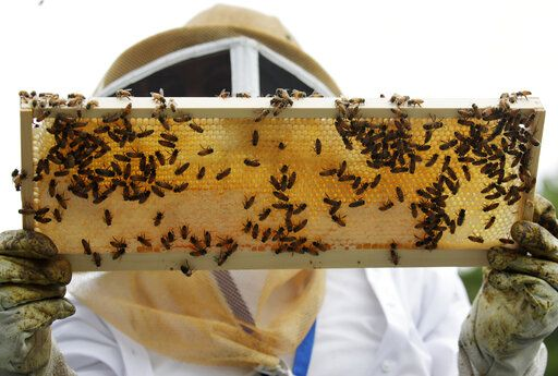 In this Aug. 7, 2019, photo, a beekeeper holds a frame of honeybees as she instructs veterans at the VA's beehives in Manchester, N.H. The annual survey released Monday, June 22, 2020, of U.S. beekeepers found that honeybee colonies are doing better after a bad year. Monday's survey found winter losses were lower than normal, the second smallest in 14 years of records.