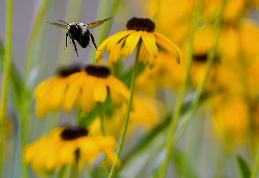 Black-eyed Susans have become a standard perennial for the summer garden, though other taller plants, such as the related Rudbeckia maxima, can bring a more interesting look to the dog day landscape.