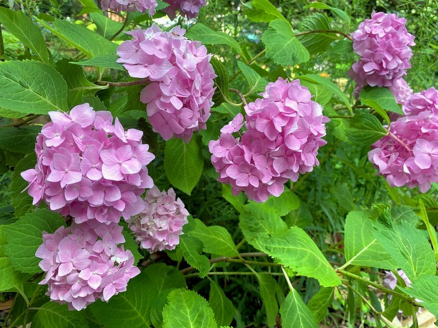 The mophead hydrangea signals a transition to a more challenging moment in the garden's year.