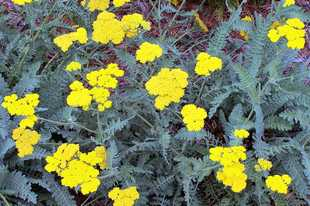 Remove spent flowers of yarrow and the reward is a second flush of blooms.