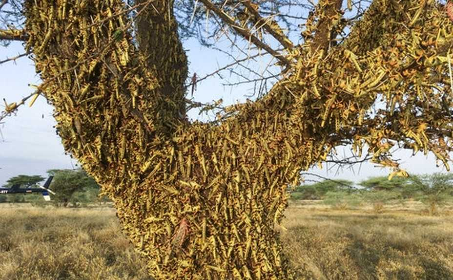 Locusts swarm on a tree south of Lodwar town in Turkana county, northern Kenya Tuesday, June 23, 2020. The worst outbreak of the voracious insects in Kenya in 70 years is far from over, and their newest generation is now finding its wings for proper flight. (AP Photo/Boris Polo)