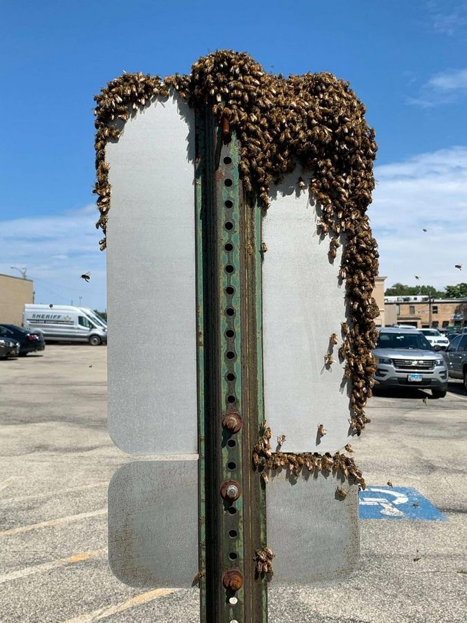 Bees swarm a reserved parking sign in a lot outside the Lake County sheriff's headquarters in Waukegan on Monday. Beekeeper Willie Pilipauskas said the bees were very docile because they were waiting to pick a new place to build a hive.