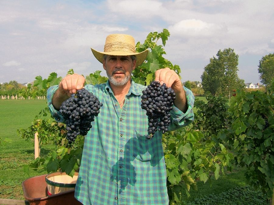 Rudy Valentino, owner of Valentino Vineyards & Winery in Long Grove, shows off some of the Sangiovese grapes he grows.
