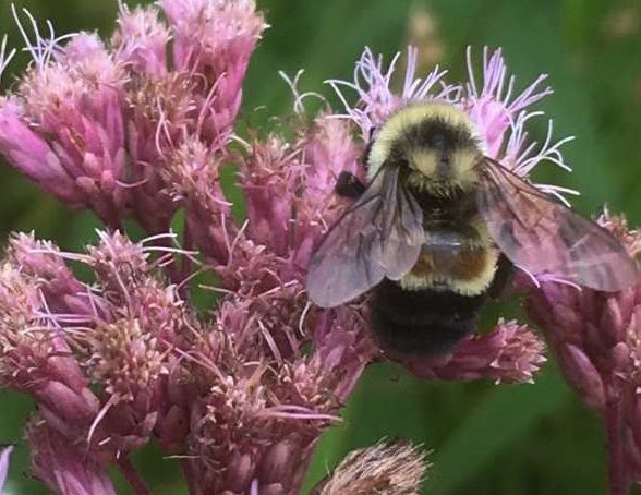 A rusty patched bumble bee on Joe Pye Weed flower