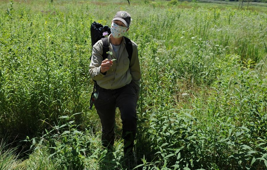 Lake County Forest Preserve stewardship ecologist Kelly Schultz emerges Tuesday from the prairie grassland area at Grassy Lake Forest Preserve near Barrington holding a bergamot. She recently discovered the endangered rusty patched bumble bee in a patch of the flowers at another preserve.