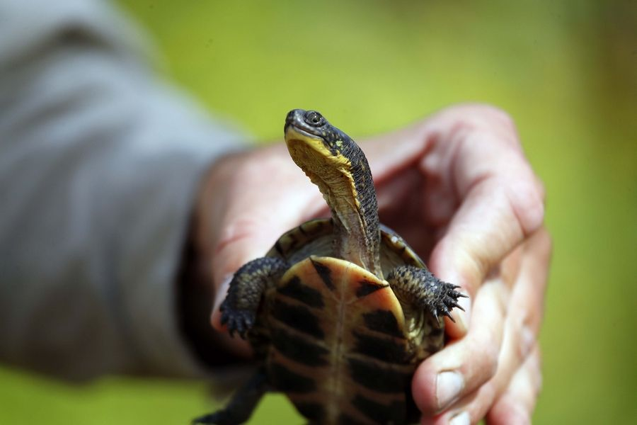 An endangered Blanding's turtle bred and reared at Brookfield Zoo was released into a secluded marsh with the Forest Preserve District of DuPage County Wednesday.