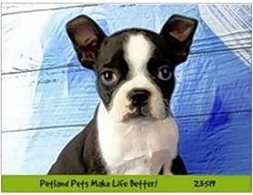 A Boston terrier puppy was stolen from a Naperville Petland store.