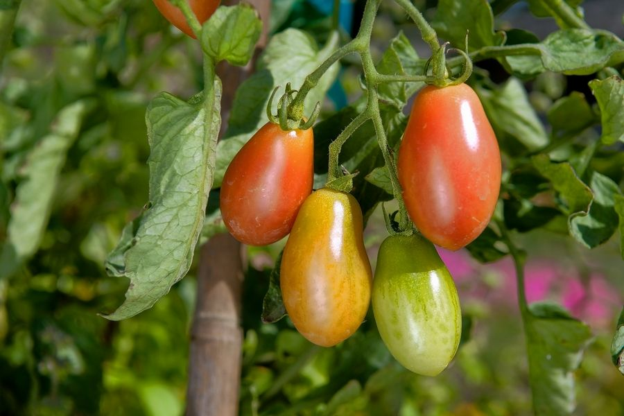 Warm-season vegetables like peppers and tomatoes should be picked as soon as they ripen.