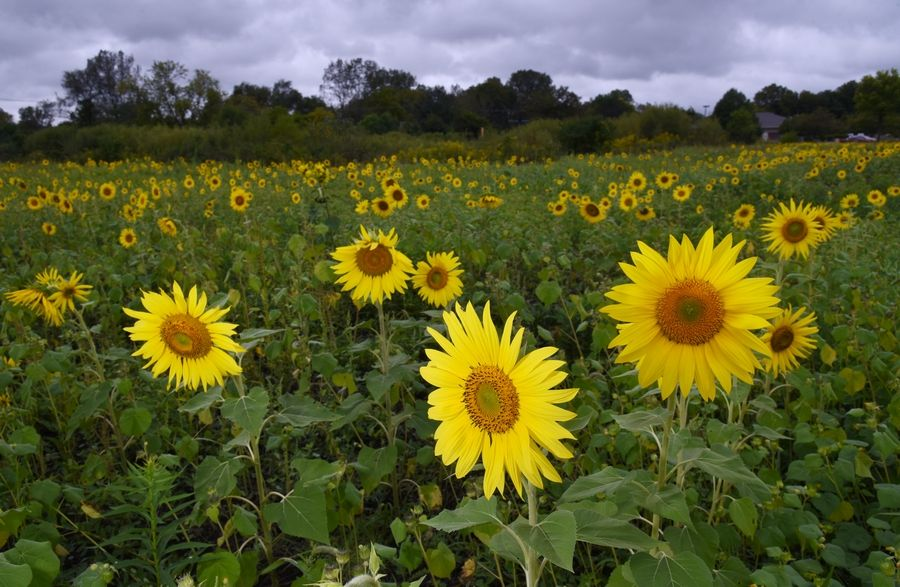 The Wauconda Garden Club is selling sunflowers to help fund college scholarships. The flowers are $1 per stem and can be found at a field accessible along Westridge Drive just north of Route 176 in Island Lake.