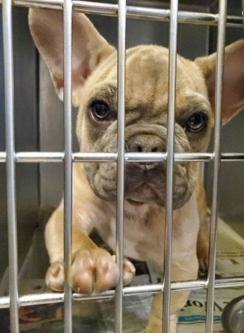 "A Chicago-based animal rescue group has refused to hand over 15 French bulldog puppies it saved from an O'Hare International Airport warehouse, defying a federal order out of concern for the animals' ""health and welfare."""