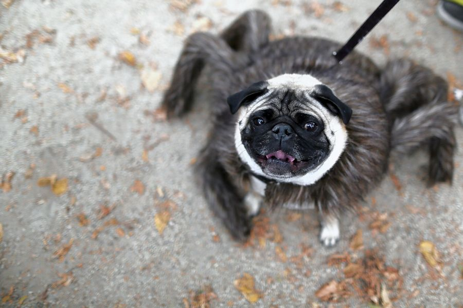 Costumed canines should enjoy Mundelein Park District's Doggy Trick-or-Treat Saturday, Oct. 10, at the Barefoot Bay Aquatic Center parking lot.