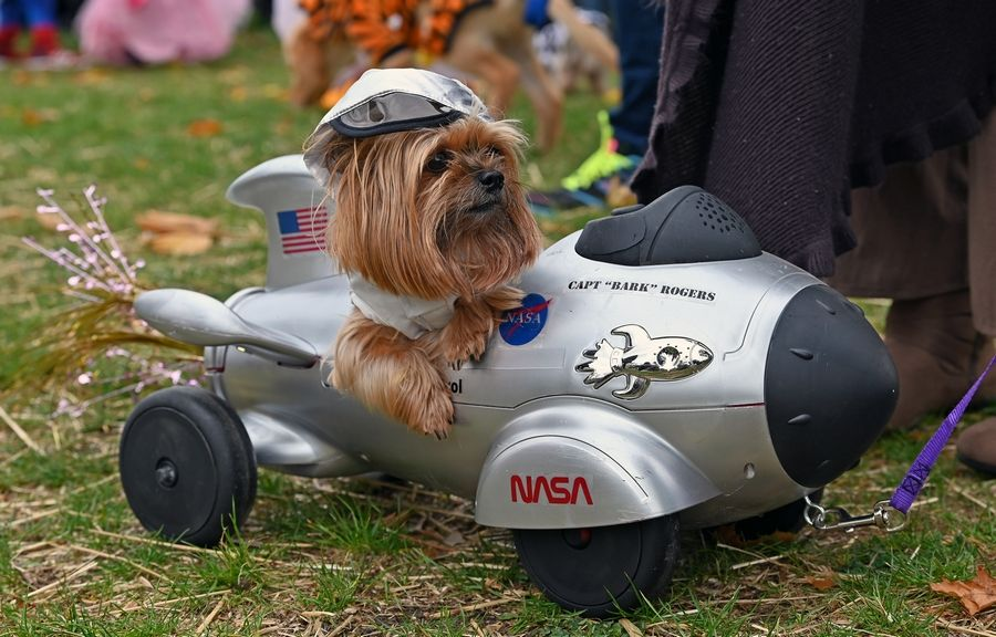 Meet Hairy Pawter, a Yorkshire terrier therapy dog from Streamwood and frequent winner of costume contests, who was dressed as Capt. Bark Rogers on Sunday for the third annual Pet Costume Parade in Long Grove.