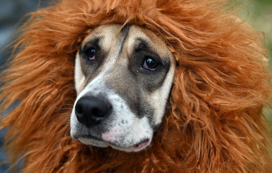 Mac, a 3-year-old rescued mixed-breed, was dressed as a lion Sunday for the third annual Pet Costume Parade in Long Grove.