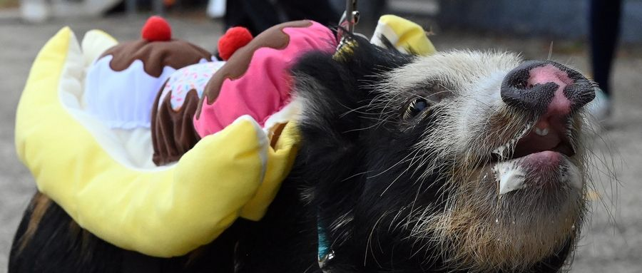 Norbert, a 10-month-old male Juliana miniature pig from Prairie View, joined dozens of dogs Sunday to march in the third annual Pet Costume Parade in Long Grove.