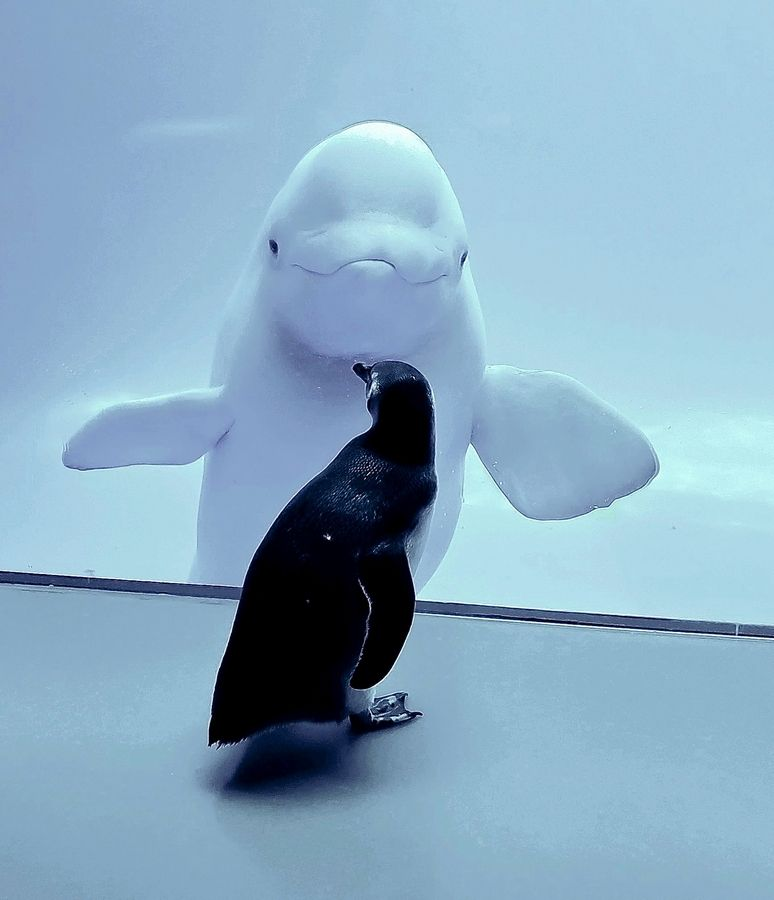 A penguin and beluga whale stare at each other at the John G. Shedd Aquarium in Chicago as part of a series of penguin field trips. The Shedd Aquarium will close to in-person visitors at 5 p.m. Nov. 17 in response to the coronavirus pandemic.