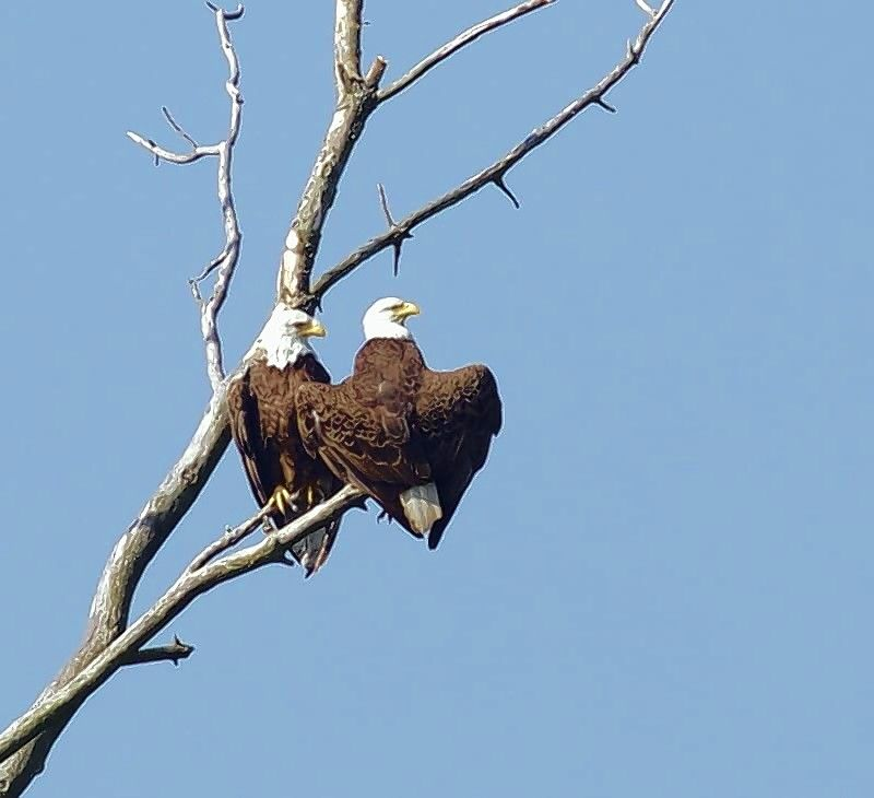 Search for eagles along the dams in Algonquin, Carpentersville and McHenry with wildlife groups on Saturday, Jan. 9.