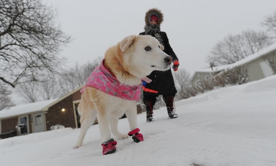 "Mary Lou Manola of Palatine walks Tasha in the early morning snow Tuesday, ""It's beautiful as long as I don't have to drive in it."" Manola said."