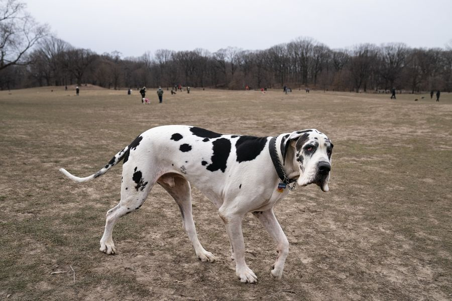 Moose, a Great Dane, enters a Long Meadow during off-leash hours for dogs and their owners. One of the silver linings of the pandemic is that many people are discovering the joys of dog ownership.