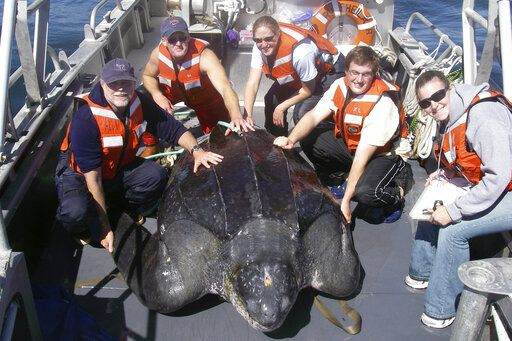 In this photo provided by Heather Harris, taken Sept. 25, 2007, in the waters off central California, scientists including Scott Benson, at far left, can be seen posing with a giant western Pacific leatherback sea turtle as they take measurements and attach a GOP satellite tracking device to its shell. All seven distinct populations of leatherbacks in the world are troubled, but a new study shows an 80% population drop in just 30 years for one extraordinary sub-group that migrates 7,000 miles across the Pacific Ocean to feed on jellyfish in cold waters off California. Scientists say international fishing and the harvest of eggs from nesting beaches in the western Pacific are to blame. (Heather Harris/NOAA-ESA Permit #15634 via AP)