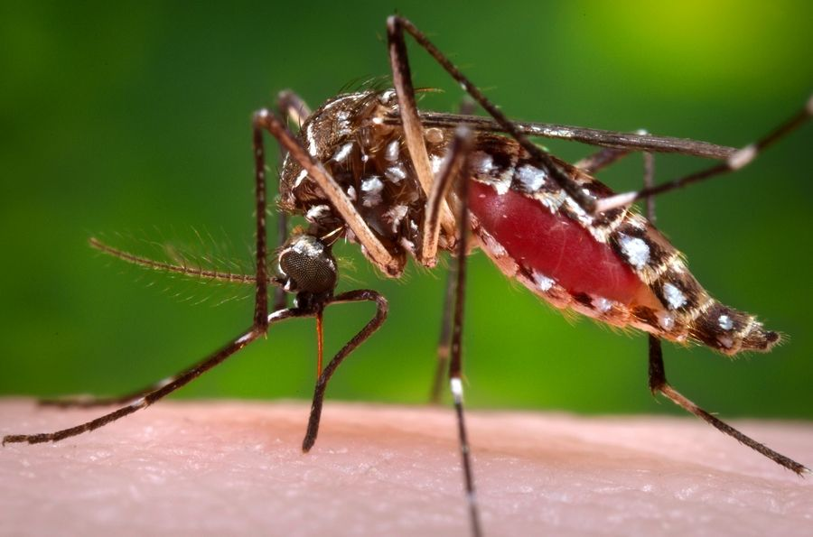 This 2006 photograph shows a female mosquito acquiring a blood meal from her human host.