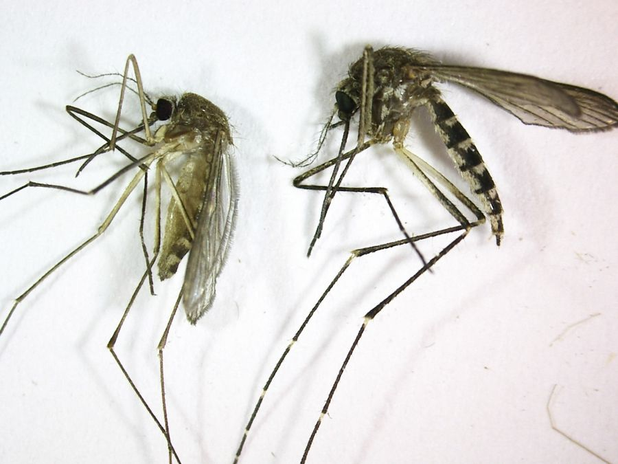 The undated photograph from the Northwest Mosquito Abatement District in Wheeling shows the Culex pipiens, left, also known as the northern house mosquito. At right is Aedes vexans, also called the floodwater mosquito.