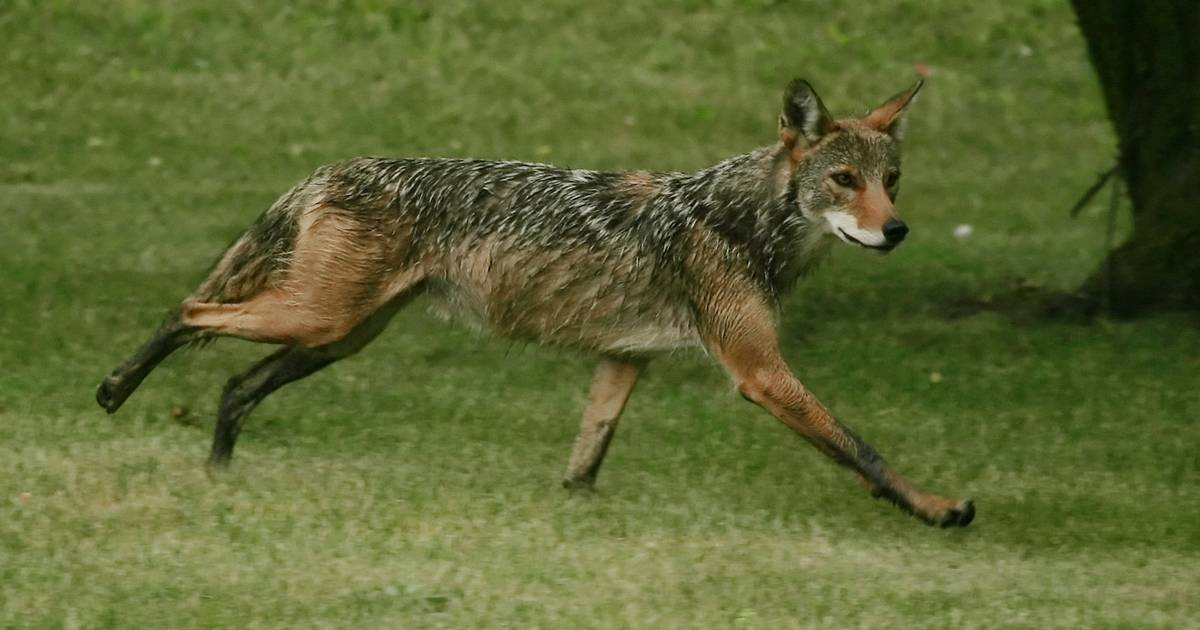 To keep coyotes away, a palatine council forbids eating wildlife