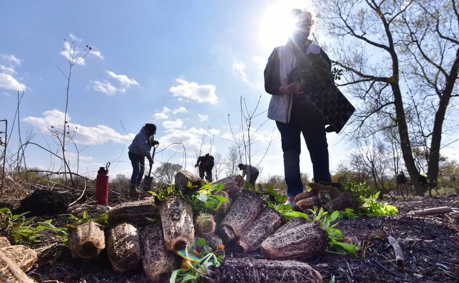 Volunteers plant native plants like St. John's Wort for Earth Day at Pederson Preserve in Barrington Thursday.
