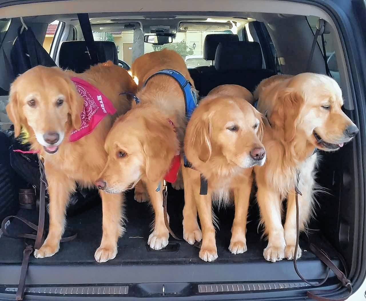 Four suburban golden retrievers were among those offering comfort in Parkland, Florda. From left are Hannah of Arlington Heights, Tobias of Grayslake, Ruthie of Lake Barrington and Jacob of Prospect Heights.
